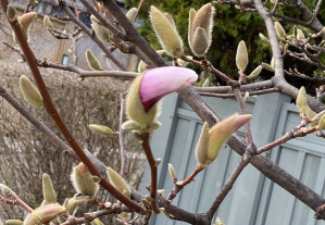 Magnolia Tree budding